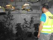 Gorzowscy kryminalni likwidują plantację