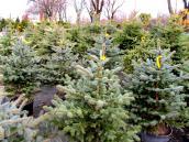 Drzewka pachnące  świętami i prezentami
