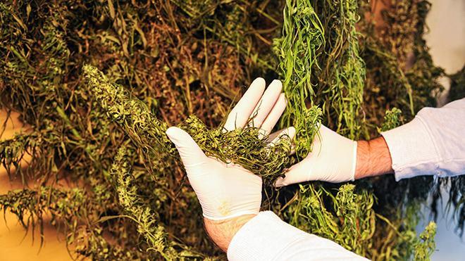 Marihuana z gorzowskiej plantacji nie trafi na rynek