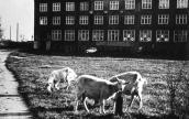 Kozy, krowa, muzyka i parę innych atrakcji