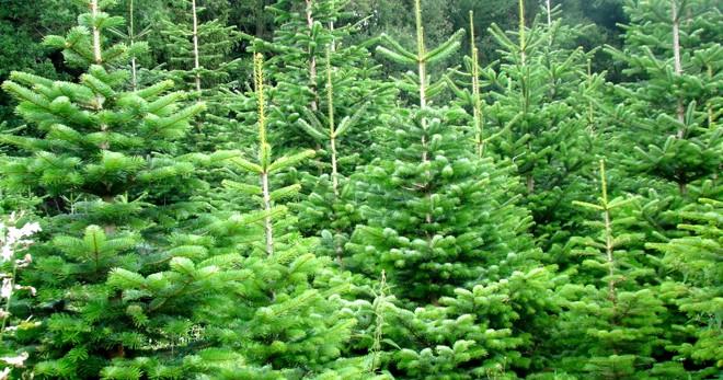 Choinki pachnące świętami Bożego Narodzenia