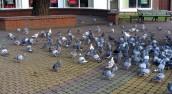 Szczury można wytruć, a gołębie? Wystarczy nie dokarmiać