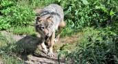Opowieść o wilku, którego częściej można spotkać w lesie