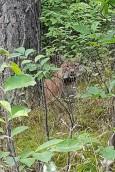Rysie polubiły bierzwnickie lasy