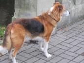 Wścieklizna jest chorobą zakaźną, psy trzeba szczepić