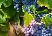 Winnice kuszą i zapraszają