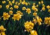 Żółto od kwiatków powinno być wszędzie